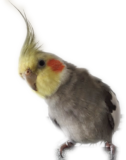 Cockatiel Advice and First Aid 101 - Parrot First Aid
